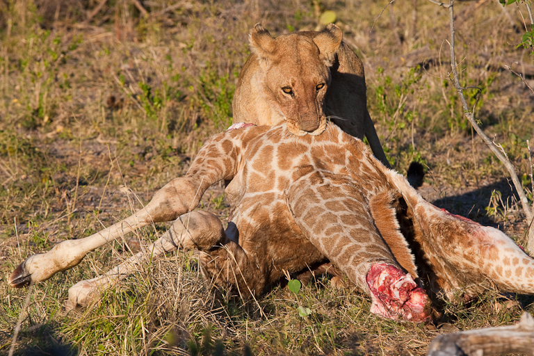 Lion eating Giraffe