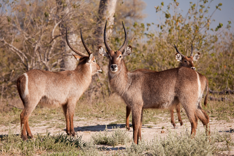 Moremi Waterbucks