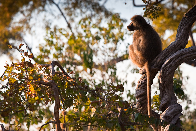 Sunrise of the Baboon