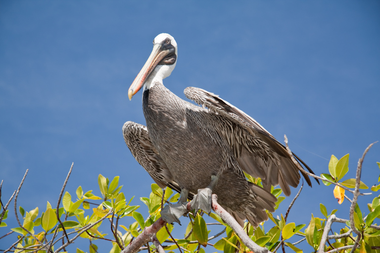 Galápagos Brown Pelican